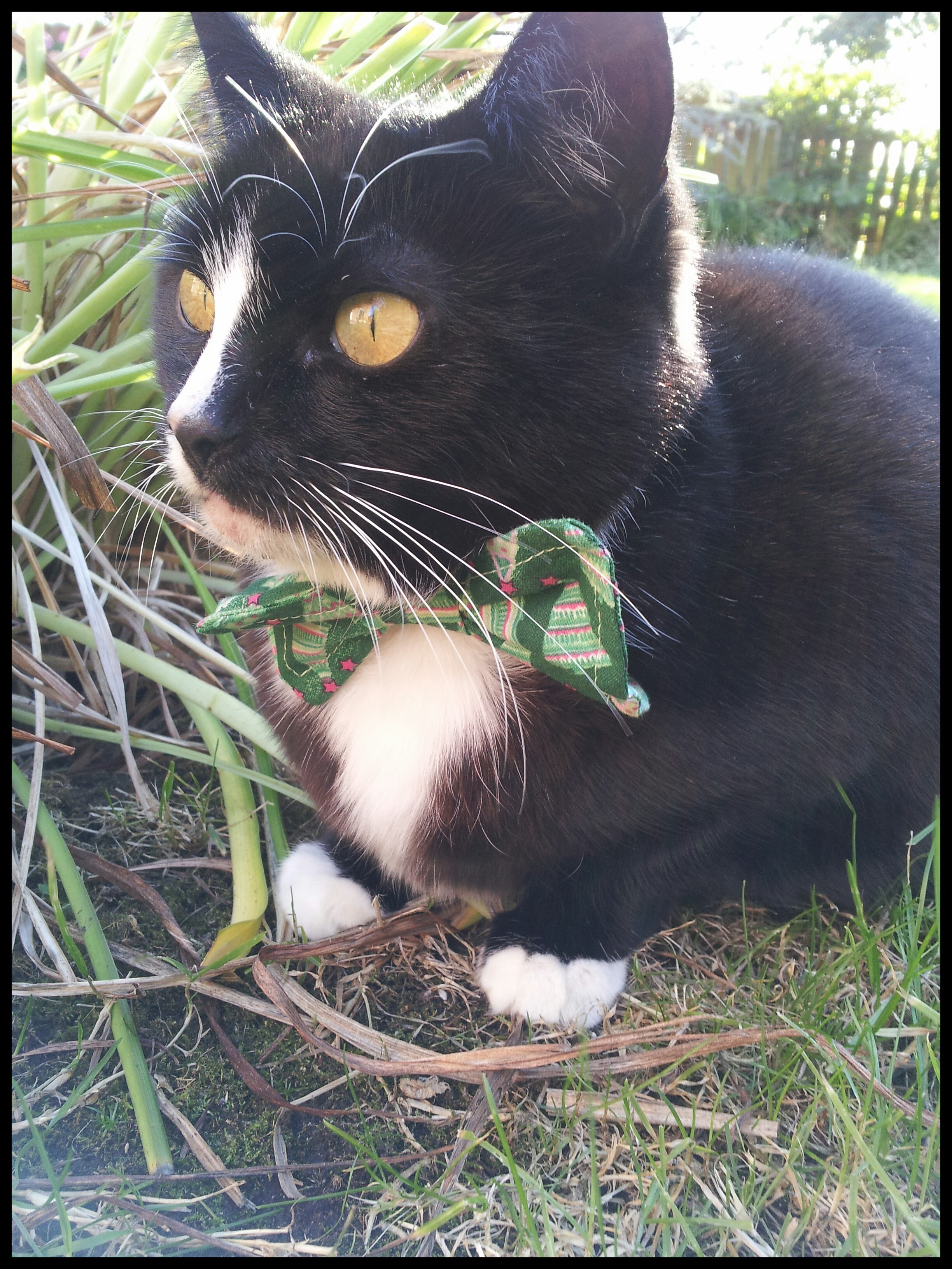 Christmas Cat Bow Ties Whitburn Whiskers