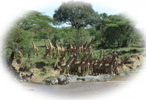 Giraffes drinking together