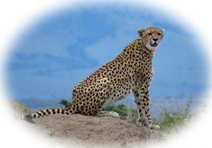 Big Cats White Masai