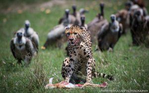 Vultures and Big cats