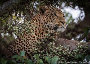 Leopard Beauty White Masai