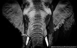 Elephant White Masai