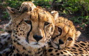 Mother and Cub Kenya January 2020