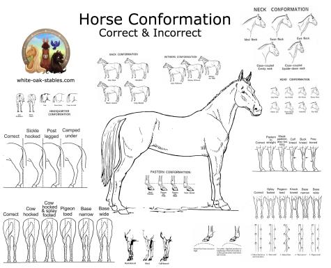 horse conformation