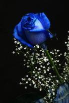 MY FAVORITE THE DIVINE BLUE ROSE
