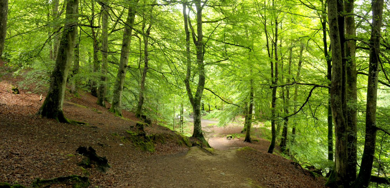 A UK woodland with tall trees