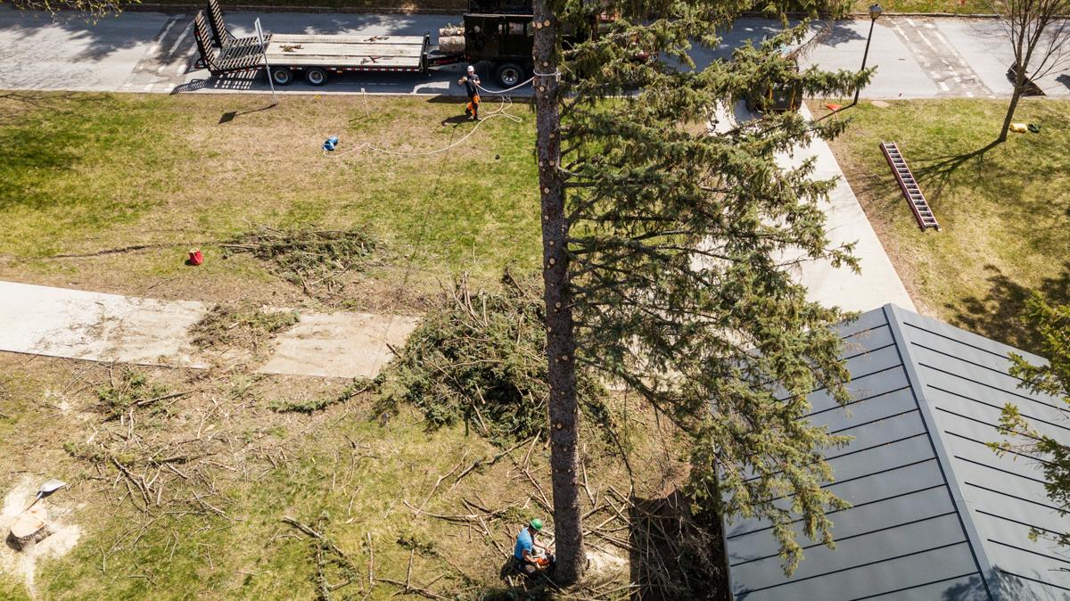 White Falcon Tree drop