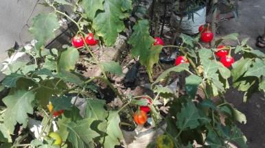 Indian Aubergine
