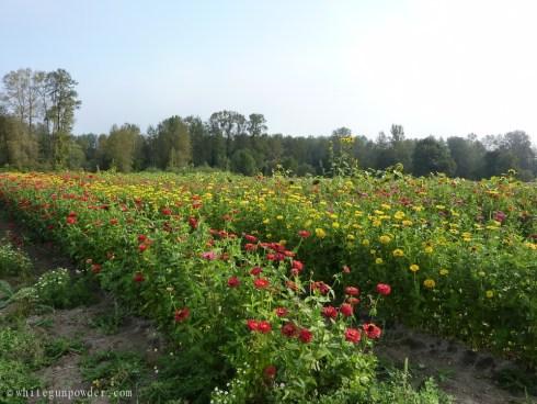 fields of  flowers, Zinnias