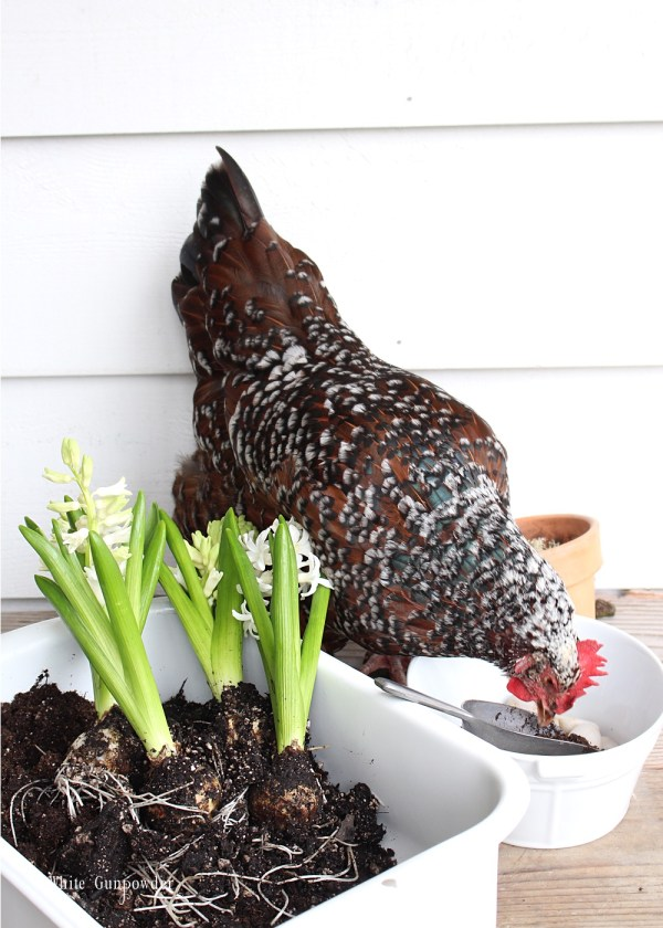 Spring flowers & chickens