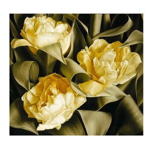 Tulipa Verona - Mia Tarney - Limited Edition