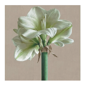 White Amaryllis - Mia Tarney - Limited Edition