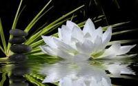 White Lotus Blooming In Water