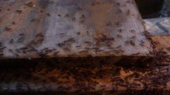 ant swarm!