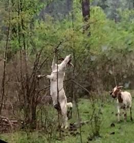 goat stretching