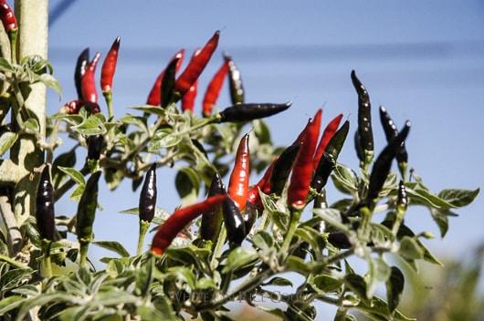Goats weed pepper or Black cobra chili pepper @whiteonrice