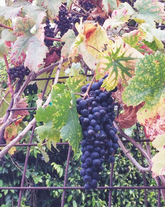 Zinfandel Grapes - Photography by @whiteonrice