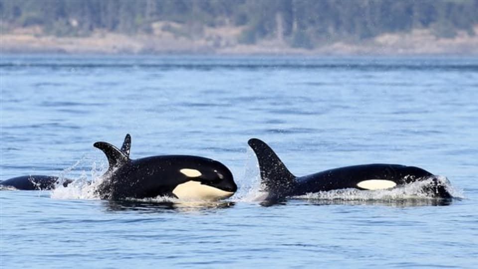 Emergency rescue efforts for endangered killer whale hit snag in Canada