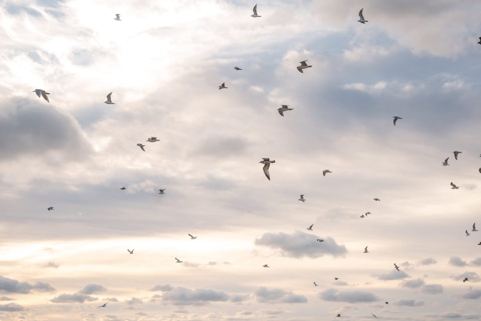 Chicago seagulls