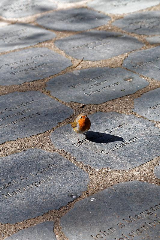Robin in Grasmere Daffodil Garden