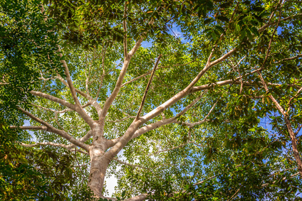 balsam copaiba essential oil