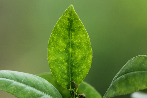 lemon petitgrain essential oil 3