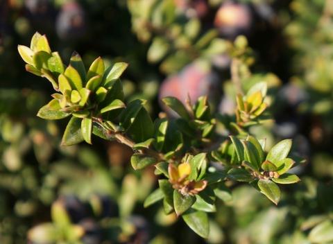 myrtle essential oil 2