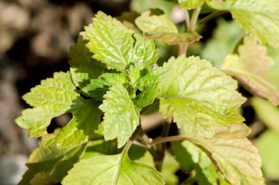patchouli reserve essential oil 2