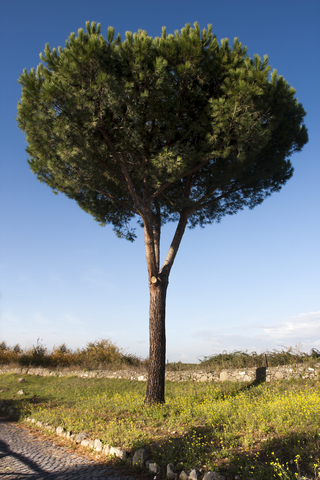 pine terebinth essential oil 2