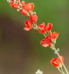 globe mallow flower essence 3