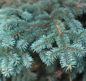 Blue Spruce Essential Oil