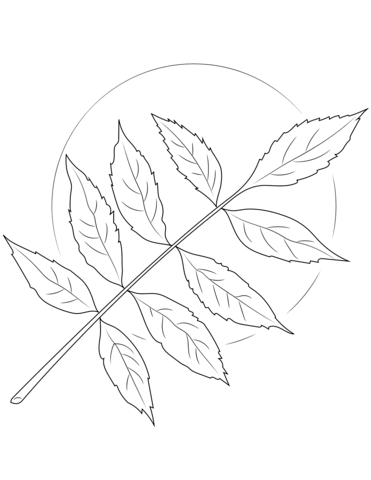 ash tree leaves coloring page free printable coloring pages