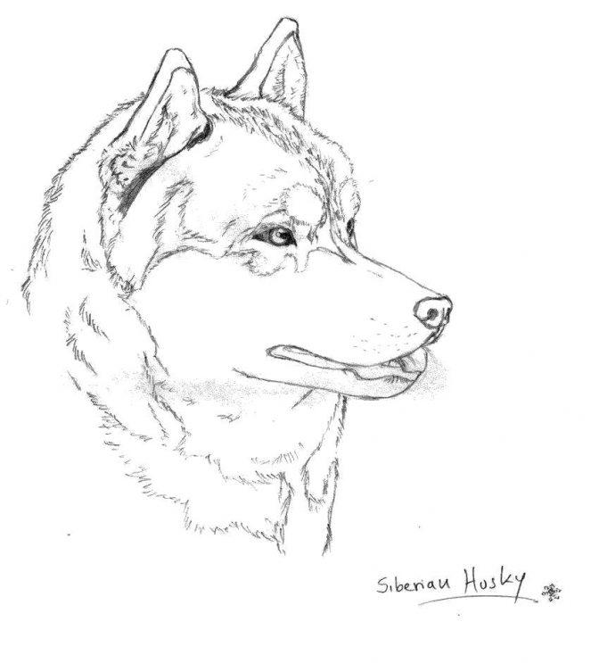 coloring page for kids splendi husky coloring sheet