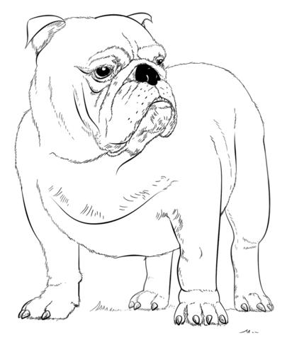 english bulldog coloring page free printable coloring pages