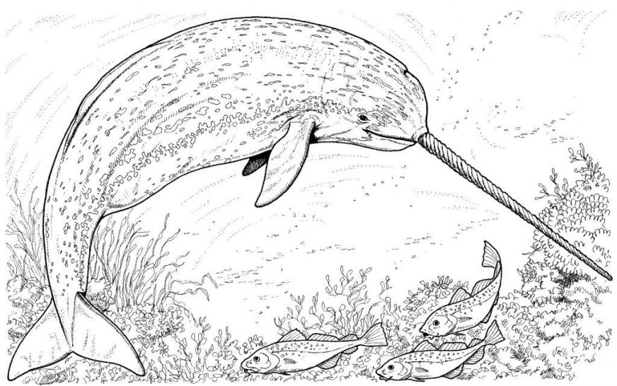 narwhal coloring pages malvorlagen tiere ausmalbilder und