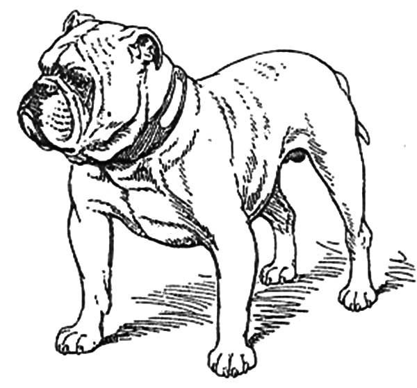 old bulldog coloring pages fun for kids