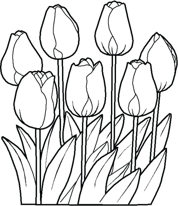tulip coloring page pages poplar printable free for toddlers