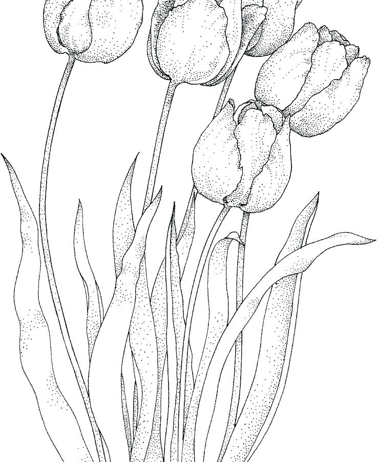 tulip coloring page pages seven tulips beautiful free