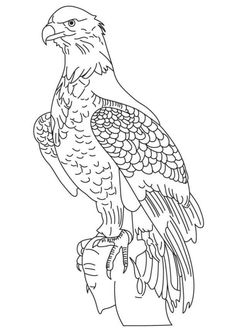wedge tailed eagle colouring pages welding pinterest