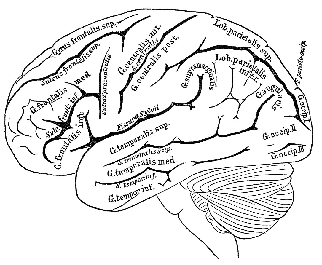 vintage anatomy images human brain the graphics fairy