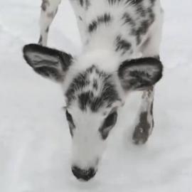 Beautiful White Deer on Video