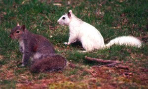 gray-and-white-squirrel