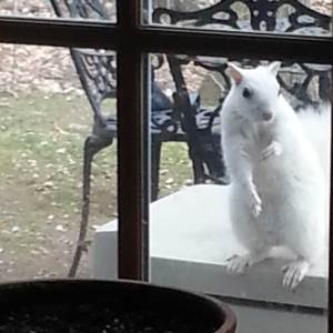white squirrel brevard