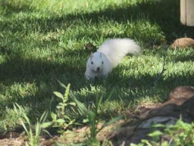 White-Squirrel Kettering Ohio