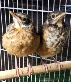 baby-robins