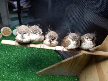 flock-of-baby-birds