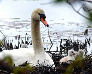A mother swan nests with her cygnets Tuesday, May 3 on Wampatuck Pond near the Hanson Town Hall behind the Jack Conway Real Estate office. There appeared to be four or five babies. 'The female is nesting about 25 feet from our window,' said Conway-Hanson Manager Susan Canedy. The business has been documenting the nesting process on its Facebook page as a community resource, and is holding a contest to name the parents. The winner will receive a $50 gift card. To participate in the contest, drop off your suggestion of names for the Swan couple at the Conway office at 500 Liberty Street or email entries to Laurie Anzivino at lanzivino@jackconway.com. Photo by Stephanie Spyropoulos