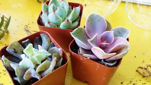 photo of the teardrop succulent terrarium trio kit from shop succulent