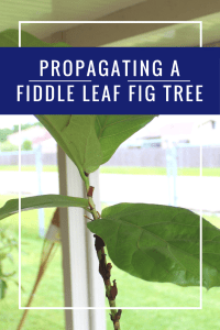 propagating a fiddle leaf fig tree | fiddle fig leaf tree