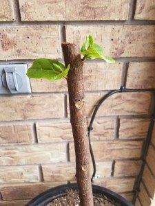 fiddle leaf fig tree | propagating a fiddle leaf fig tree | fiddle leaf fig tree tips
